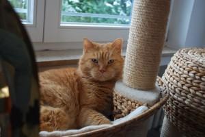 Ginger in seinem Kratzbaum