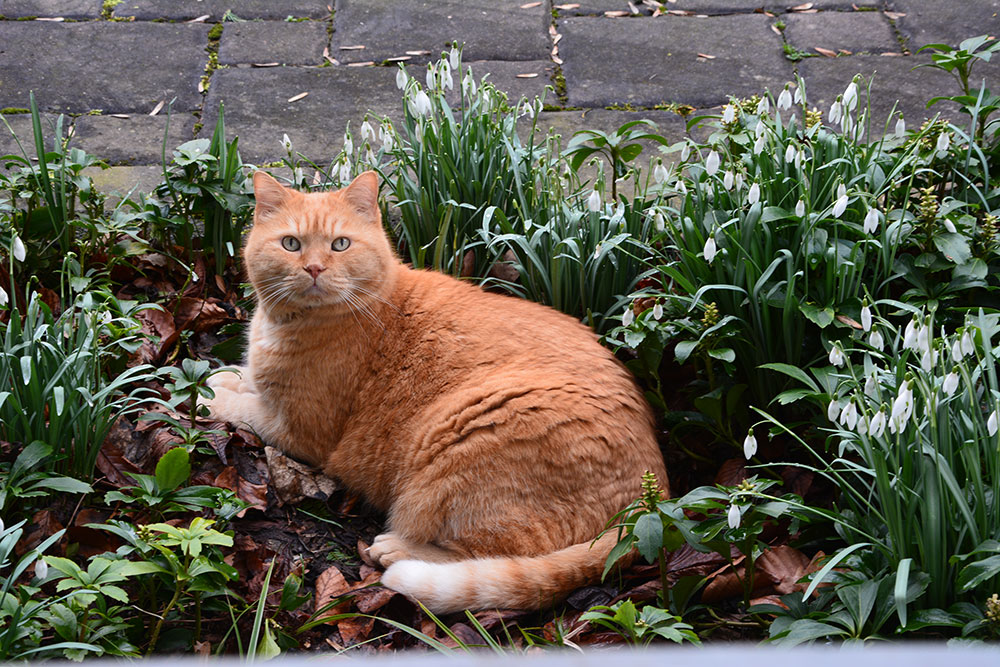 ginger_2014-02_snowdrops