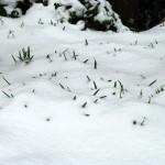 snowdrops_2013_02_24_im_schnee