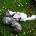 issi_islay_2013_05_catfight4