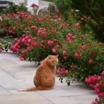terrassenrosen_2013_07_ginger