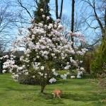magnolie_2013_03_ginger