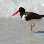 oystercatcher_2010_10_wet