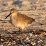 willet_2010_10_sundown