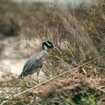 yellow-crowned_night_heron