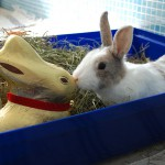 lilly_2013_03_goldhase6