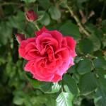 1_rose_2014_04