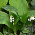 lily_valley_2014_04