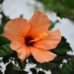 hibiscus_2014_06_orange