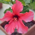 hibiscus_2014_06_pink