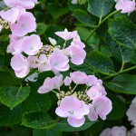 hortensienbeet_2014_06-hobelia