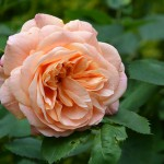 strauchrose_2014_06_apricot