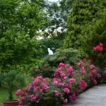 terrassenrosen_2014_06_isfrid