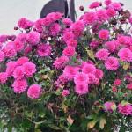 chrysanthemen_2014_10