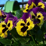 pansy_2014_11