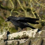 crow_2015_02_futter