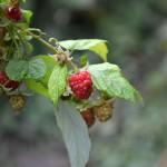 raspberry_2015_10